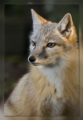 Corsac Fox (Scroll down  to see more in this serie:) (bzd1) Tags: friends nature animal animals natur fox dieren dier soe animalia mammalia vos carnivora vossen chordata roofdier canidae zoogdier vulpes zoogdieren corsacfox corsac physis specanimal roofdieren carnivoor vulpescorsac flickrestrellas steppefox corsacvos saariysqualitypictures hondachtigen korsakvos vcorsa