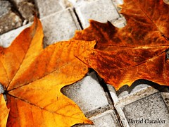 (David Cucaln) Tags: autumn macro hoja photoshop otoo fineartphotography fulla tardor flickraward davidcucalon