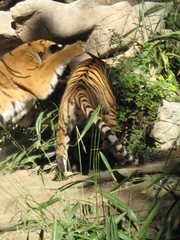Two Sister Tigers