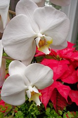 christmas orchids