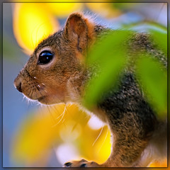 Squirrel in the morning sun (Images by John 'K') Tags: fence squirrel december critter explore photoaday 2009 johnk explored carolinajessamine mywinners d5000 impressedbeauty vosplusbellesphotos johnkrzesinski randomok