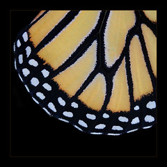 Monarch Abstract (AnyMotion) Tags: travel macro nature animal animals butterfly square tiere reisen costarica natur monarch monteverde makro 2009 centralamerica schmetterling butterflyhouse selvatura danausplexippus anymotion bej mywinners 800x800 canoneos5dmarkii macromarvels monarchfalter damniwishidtakenthat 5d2 republicofcostarica