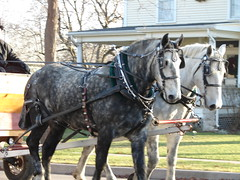 """Two Percheron's"" (canaltowntraveler) Tags: galope"