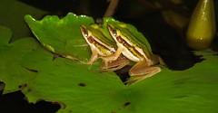 Phuket Frogs (John Lindie) Tags: water thailand lily pad frog toad thai phuket lilypad