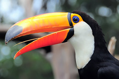 Close (Pedro Cavalcante) Tags: bird animal toucan nikon pssaro fugl dier oiseau animale ara  tier vogel dyr pjaro uccello tucano  toekan d90   tucn    nikond90 tukaani