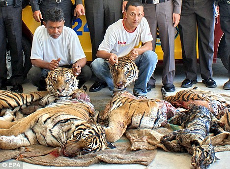 The end result of illegal tiger trading