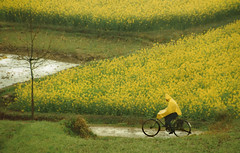 0090 The cyclist and the rapeseed flowers--Anhui Province , China (ngchongkin) Tags: anhui china discoveryphotos nationalgeographic heartawards flickrbronzeaward photographyforrecreationbronzeaward niceshot musictomyeyes mygearandme photographyforrecreationgoldaward photographyforrecreationsilveraward flickraward5 flickraward autofocus flickrawardgallery beautifulaward thebestshot soe flickrsgottalent goldstarawardlevel1 showroom flickrhearts ringexcellence finegold bestpeopleschoice flickrestrellas thethreeangelslevel1 peaceaward angelawards qualifiedmembersonly thegalaxy spiritofphotography visionaryartsgallery flickrbronzetrophy highqualityimages fabulousplanetevo artofimages photohobbylevel1 thebestshots visionaryartsgalleryplatiumandgold lomejordemisamigos yourpreferredpicture freeadminworld artistsoftheyear supreme thebestvisions ultimategold bestoriginalshooting thehouseofimagegallery pegasusaward crystalawards favoritephotos doublyniceshot theworldinthemyeyes moving anythingyoulike thebestshotslevel2 platinumheartawards absolutegoldenmasterpiece artistoftheyearlevel4 artistoftheyearlevel3 naturepoetry artistsoftheyearlevel2 artistsoftheyearlevel3 artistoftheyearlevel5