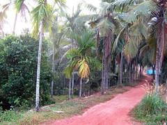 Elayavoor (tpms5) Tags: trekking walking village coconut hiking farm kerala footpath malabar kannur villageroad arecanut greenearth cannanore mudroad munderi malabarmagazine munderimotta