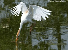 Cattle Egret Gathering Nesting Material (Image Hunter 1) Tags: reflection nature water birds flying wings louisiana flight beak feathers diving bayou breeding swamp twig precision stick marsh wingspan nesting nestbuilding cattleegret wingspread t2i birdslouisiana canont2i stunningphotogpin