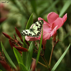 Madame Butterfly (m@®©ãǿ►ðȅtǭǹȁðǿr◄©) Tags: españa flores canon natura catalunya tamron mariposa madamebutterfly ripollet melanargiaines canoneos400ddigital m®©ãǿ►ðȅtǭǹȁðǿr◄© marcovianna tamron18200mmf3563diiixr