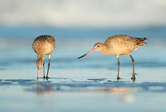 Marbled Godwits (Aidan Briggs) Tags: marbled godwits morro bay aidan briggs workshop bird photography