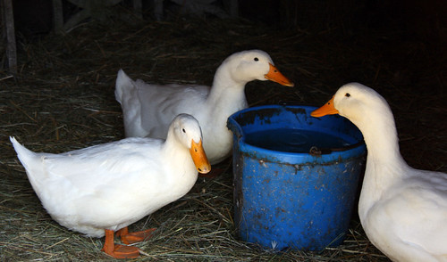 gretchens farm ducks