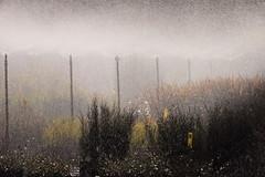 Nursery (kasia-aus) Tags: mist plant nature nursery australia droplet canberra 2009 act watering wate
