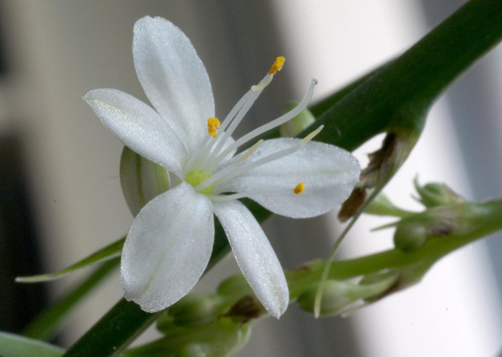 Spider Plant flower, Rönsyliljan kukka