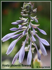 Hosta phoenix flowers (photo courtesy of W. George Schmid)