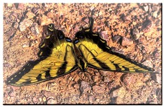 big yellow butterfly.jpg (Father Tony) Tags: summer macro southdakota butterfly insect photo prairie flyinginsect adobephotoshopelements canonefs1755mmf28isusm canoneos50d ortoneffect redynamixplugin fallrivercounty adobephotoshopelements7