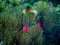 What are YOU doing here?! (Elaine Marie Parker) Tags: fish tanzania underwater anemone daressalaamtanzania