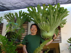 Platycerium grande (PlatyceriumTatsuta) Tags: ferns staghorn samambaia platycerium chifredeveado