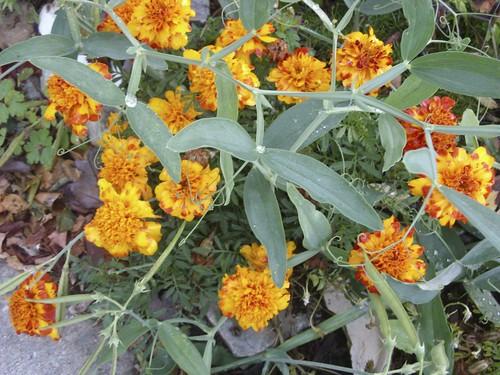 marigolds & sweetpeas