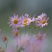 Clara Curtis Chrysanthemum - Wisconsin, Dousman - Autumn 2009 DSCF7086_1-2