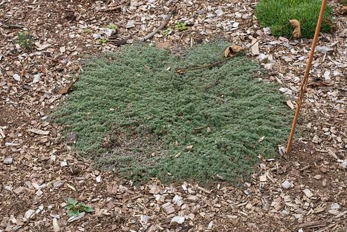 Edible Forest Gardens: micro thyme