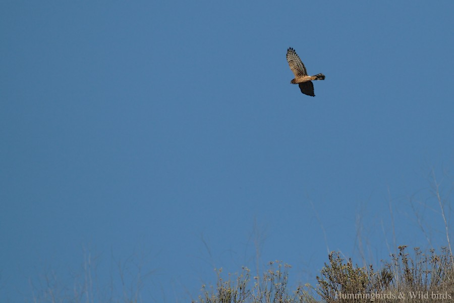 Northern Harrier10091