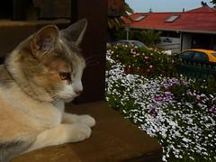 me encantan las flores... (vivian_v) Tags: gatos gata