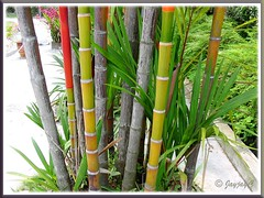 Clustered trunks of Cyrtostachys renda (Lipstick Palm, Red Sealing Wax Palm)