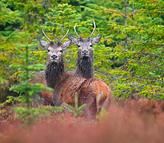Young Reds - Glen Glass (Chris Sharratt) Tags: cervuselaphus glenglass chrissharratt youngreddeerstags