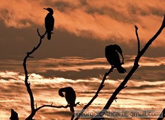 cormorants by dawn (fins'n'feathers) Tags: bird birds cormorants doublecrestedcormorants dawn tree snag branches perched clouds red southcarolina savannahnationalwildliferefuge birdwatcher