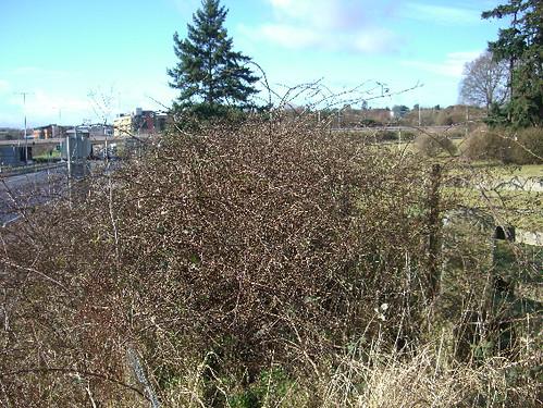 Milestone in a bramble bush on the A30 in Devon