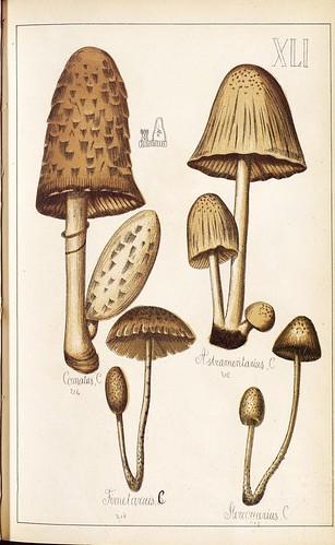 Comatus, Asbiamentaurus, Fimetarius et al spp.