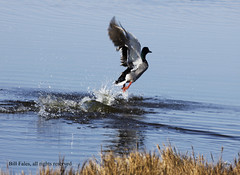 Explosive Flight  _MG_1308R (CP Images) Tags: bird nature water birds canon outdoors duck action wildlife flight feathers kansas 5d mallard waterfowl birdwatcher cpimages