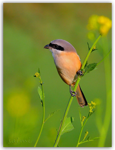 the Rufous-backed Shrike