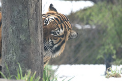 Peek a Boo (zenseas) Tags: tiger malayantiger panthera woodlandparkzoo phinnyridge snow winter peekaboo male boy seattle washington pantheratigris pantheratigrisjacksoni feline cat bigcat