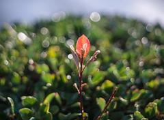 ILCE-6000-08139-20170222-0755-Pano // Meyer-Optik Gorlitz Oreston 50mm 1:1.8 (Otattemita) Tags: 50mmf18 florafauna görlitz meyeroptik meyeroptikgörlitzoreston50mmf18 oreston fauna flora flower nature plant wildlife meyeroptikgorlitzoreston50mm118 sony sonyilce6000 ilce6000 50mm cnaturalbnatural ota