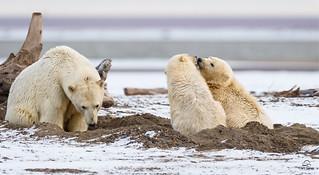 Polar Bear Sister to the Rescue