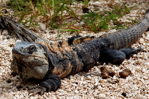 Iguana @ Tulum, Qroo ~ Mexico