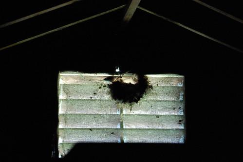 attic birds