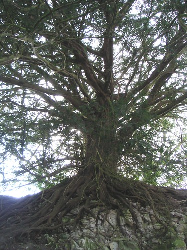 small-yew-pre-south-harting