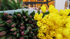 Tulips - typically dutch