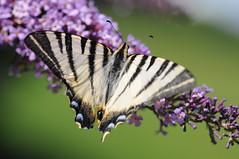 [フリー画像] [節足動物] [昆虫] [蝶/チョウ] [アゲハ蝶/アゲハチョウ] [ヨーロッパタイマイ]      [フリー素材]