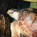 Bobby the Loggerhead Turtle