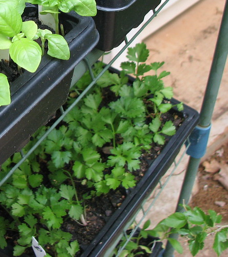 I put my celery seed trays on a lower shelf to give them more shade. They do not need full sun in the south.