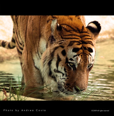 Tiger (Andrea Costa Creative) Tags: desktop wallpaper macro tree art nature closeup illustration photoshop canon painting creativity photography design interesting paint arte post graphic background postcard creative myspace powershot comunicazione explore concept retouch ideas retouching disegno sx1 grafica facebook linkedin interessi comunication photorealistic postprocessing fotoritocco windflower bestphoto photoretouching illustrazione metadesign fotorealismo ritocco topseven netlog andreacosta vosplusbellesphotos artofimages sx1is sx1best actheart bestcapturesaoi socialimg mygearandmepremium mygearandmebronze mygearandmesilver mygearandmegold mygearandmeplatinum mygearandmediamond ayrphotoscontestwildanimals ayrphotoscontestwildanimals2 ayrphotosanimalsaction