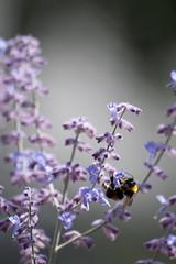 Parc Floral - Vincennes-57 (MissDogo) Tags: paris macro fleur closeup animaux parc insectes vincennes parcfloral bourdon proxyphoto hym hyménoptères hymnoptres