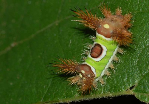 Saddleback-Caterpillar