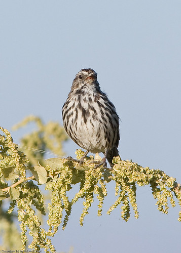 Song Sparrow by you.