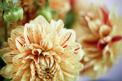 (mightymarce) Tags: flowers august canon50mmf18 ml 2009 lightroom yellowdahlias