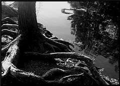 Gnarled Roots (Maureclaire) Tags: bw tree nature water monochrome river blackwhite noiretblanc roots  biancoenero svartvitt enblancoynegro zwartenwit czarnobiae albnegru feketefehr inbiancoenero itimatputi sortoghvid   siyahvebeyaz ennoiretblanc  svartoghvitt svartoghvtt schwarzundweis ernabl  rnobelo    mustavalkoisia